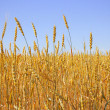 Wheat field — Stock Photo #8211021