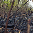 Burnt forest scene. - Stock Photo