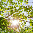 Solar beams through leaves — Stock Photo