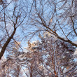 Winter trees and sky — Stock Photo