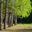 Birch trees in a summer forest — Photo