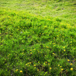 Royalty-Free Stock Photo: Field of dandelions.