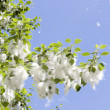 Poplar fluff — Stock Photo