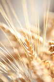 Golden wheat close up background. — Stock Photo