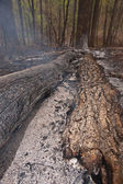 Burnt forest scene. — Stock Photo