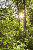 Sol na cena da floresta — Fotografia Stock