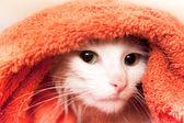 Gato branco wraped acima em uma toalha — Foto Stock