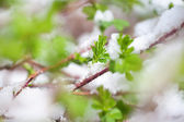 Spring leaves with snow — Stock Photo