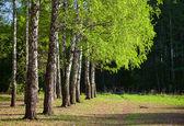 Björkar i en sommar skog — Stockfoto