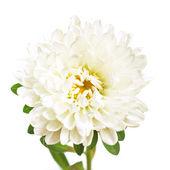 Flower isolated on white background — Zdjęcie stockowe