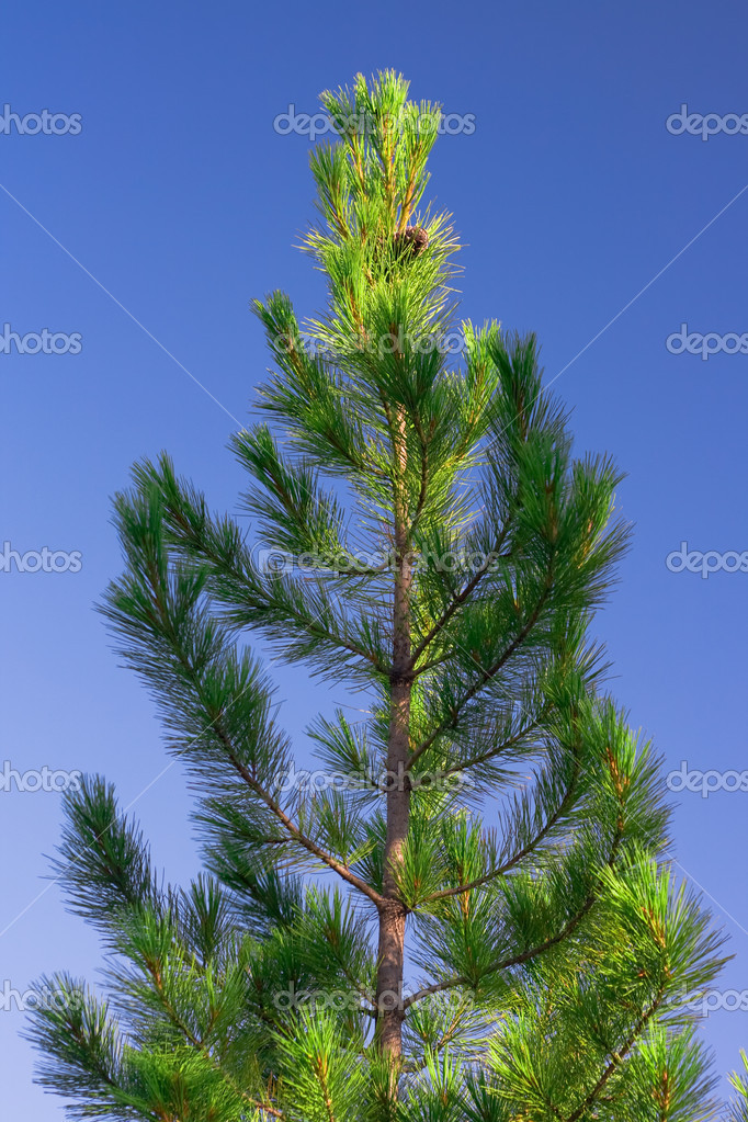 Single pine tree and the blue sky. — Stock Photo #8214478