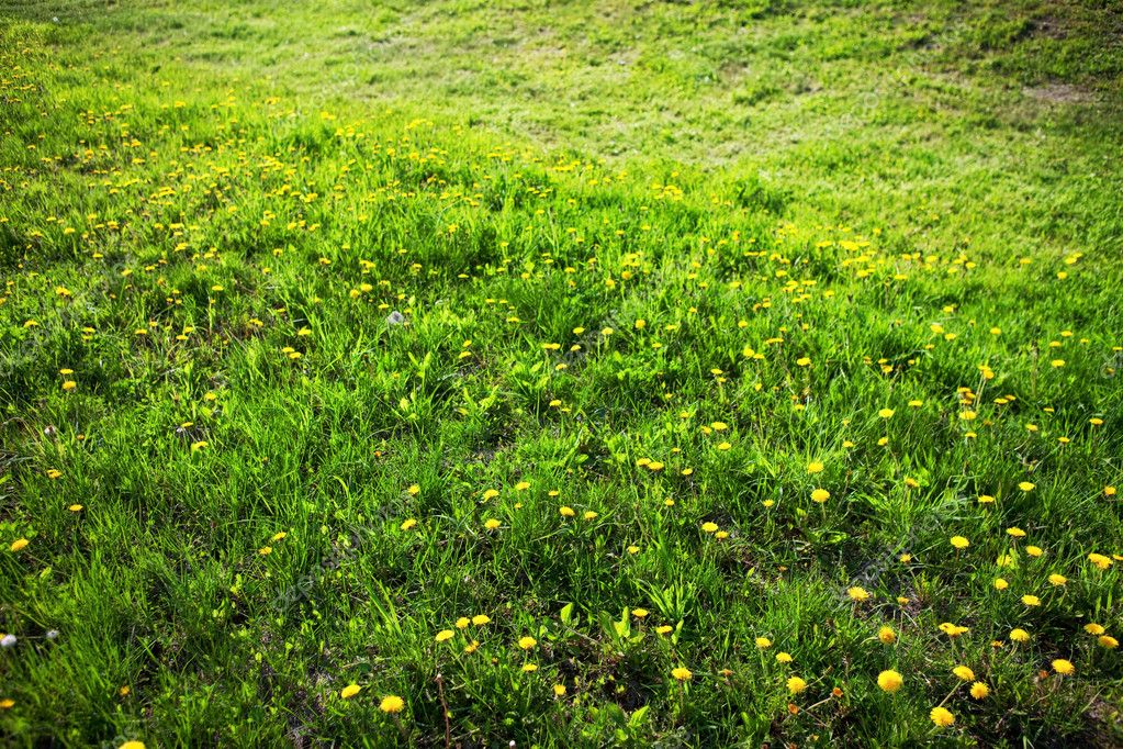 Field of dandelions.  Stock Photo #8214628