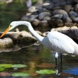 Stock Photo: Yellow-billed Egret (Mesophoyx intermedia)
