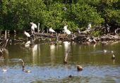 American White Ibis (Eudocimus albus) — Stock Photo