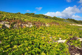 Shore was covered with vegetation. Cayo Guillermo. Cuba. — Stock Photo