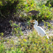 Yellow-billed Egret (Mesophoyx intermedia) eating a lizard. — Stock Photo