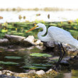 Yellow-billed Egret (Mesophoyx intermedia) — Stock Photo