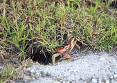 Land crabs near his burrow. — Stock Photo