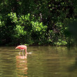 Stock Photo: American Flamingo (Phoenicopterus ruber)
