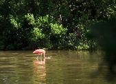American Flamingo (Phoenicopterus ruber) — Stock Photo