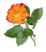 оранжевый розовый цветок — Стоковое фото