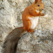 Cure red squirrel on a rock - Stock Photo