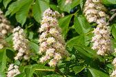 Jarní květiny kvetoucí kaštan — Stock fotografie