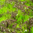Closeup of young fresh green grass in the soil — Stock Photo #9808481