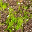Closeup of young fresh green grass in the soil — Stock Photo #9808601