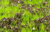 Closeup of young fresh green grass in the soil — Stock Photo