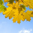 Autumn yellow leaves — Foto Stock