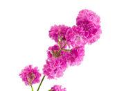 Güzel bir mor çiçek üzerinde beyaz izole — Stok fotoğraf