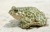 Big toad — Stock Photo
