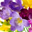 Yellow and violet fresia on white - Stock Photo
