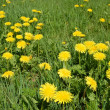 Flowering dandelion on meadow — Stock Photo