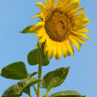 Sunflowers — Stock Photo #8887916