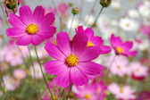 Beautiful pink bell flowers — Stockfoto