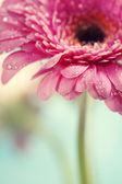 Gerbera flores — Foto Stock