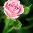 Stock Photo: Beautiful pink rose