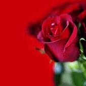 Red roses — Foto Stock