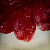 Fleur de gerbera — Photo