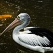 Pelican. - Stock Photo
