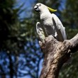 Yellow-crested Cockatoo (Cacatua sulphurea) - Stock Photo