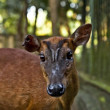 Young deer in bali a zoo. Bali. Indonesia - Stock Photo