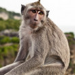 Monkey. Bali a zoo. Indonesia.  — Stock Photo