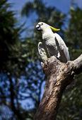 Yellow-crested Cockatoo (Cacatua sulphurea) — Stock Photo