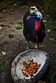 Golden-hals kasuar casuarius unappendiculatus, zoo, bali, indonesien — Stockfoto