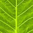 Texture of a green leaf as background. - Stock fotografie