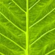 Texture of a green leaf as background. -  