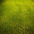 Rice field. — Stock Photo #8995210